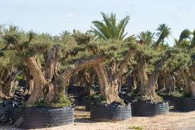 olive tree farm with trees on sale for gardening purposes
