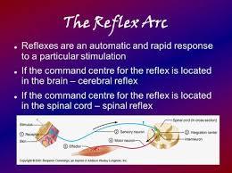 Motor Reflex Arc Reflexes The Typical Pattern Of A Neural U201ccircuit U201d Is An Arc