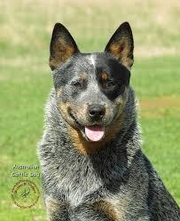 australian shepherd cattle dog 20 best pastores australian cattle dog images on pinterest