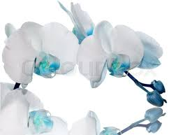 Blue Orchid Flower Beautiful Light Blue Orchid Flower On A White Background Stock