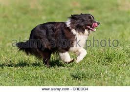 australian shepherd black australian shepherd black bi running stock photo royalty free