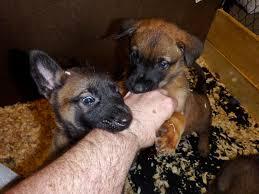 belgian malinois puppies 6 months 886 best belgian malinois and dutch shepherd images on pinterest