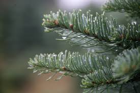 Pacific Northwest Christmas Tree Association - oregon and washington christmas tree growers look forward to