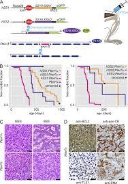 modeling synovial sarcoma metastasis in the mouse pi3 u2032 lipid
