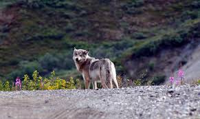 A Wolf At The Table Wolf Hunting Near Denali Yellowstone Cuts Wolf Sightings In Half