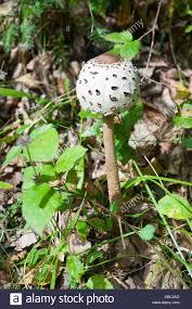 mushroom in the grass stock photos u0026 mushroom in the grass stock