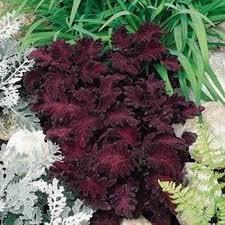How To Grow Coleus Plants by Coleus Seeds Coleus Black Dragon Flower Seed Dark Foliage Plants