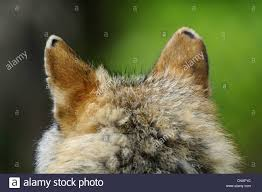 european gray wolf canis lupus lupus back of the of an