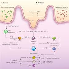reciprocal interactions of the intestinal microbiota and immune