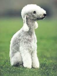 bedlington terrier guard dog breeds temperament of bedlington terriers dogs