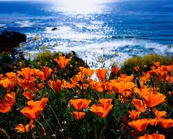bob cut mag u2014 good news california poppies are on their way