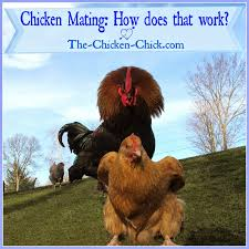 the chicken chicken mating how does that work