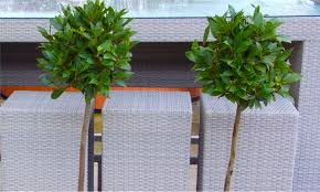 Topiary Planters - pair of topiary bay trees groupon goods