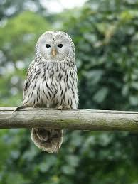 ural owl wikipedia