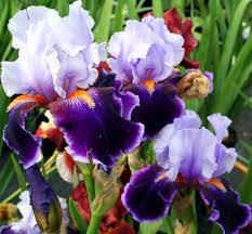 iris flowers purple iris flower flowers free nature pictures by forestwander