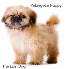 lion dogs pekingese lion dog of imperial china