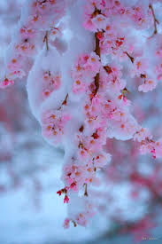 Japanese Cherry Blossom Tree by 138 Best Sakura Images On Pinterest Nature Flowers And Spring
