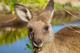 kangaroo symbolism a message spirit animal totems