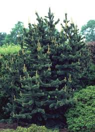 colorado blue spruce and evergreen trees at just trees fort collins