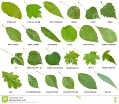 collection of green leaves of trees with names stock photo image