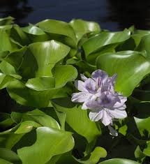 native british pond plants water hyacinth plant great pond plants they break off and