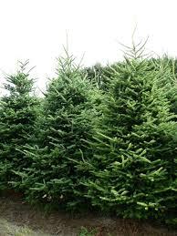 real christmas tree impressive real christmas trees pleasurable fraser fir freshly cut