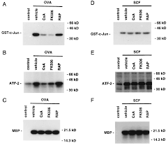 Mc Rockville Map Stem Cell Factor Augments Fcεri Mediated Tnf α Production And