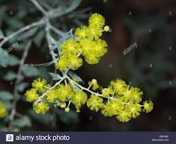 australian native plant species cluster of vivid yellow flowers of australian native wattle tree