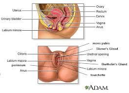 Internal Dog Anatomy Internal Labelled Diagram Of A Female Body Human Anatomy Chart