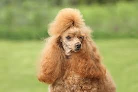pictures of poodle haircuts how to groom a poodle
