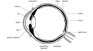 Blind Spot In Eyes Eye Disorders In Cavalier King Charles Spaniels