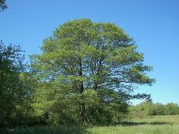 black alder for sale low prices from tn tree nursery