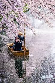 Flowers In Japanese Culture - after the rain sakura in japan japan 一番 pinterest rain