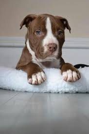 american pitbull terrier puppies louisiana staffordshire bull terrier pit bull pinterest staffordshire