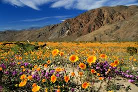 anza borrego super bloom wild about wildflowers in san diego s east county