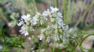 Plants That Repel Aphids by Flowers Instead Of Pesticides Flowers Across Melbourne