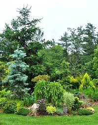 evergreen trees for australian gardens evergreen trees for medium