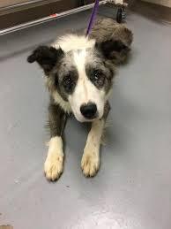 australian shepherd adoption dogs for adoption australian shepherd in mena arkansas petcurious