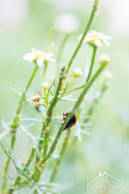Plants That Repel Aphids by How To Get Rid Of Garden Pests With Ladybugs