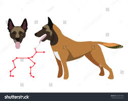belgian malinois en espanol malinois belgian malinois belgian shepherd dog stock vector