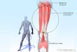 A Picture Of The Human Anatomy Hamstring Muscle Picture Image On Medicinenet Com