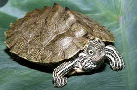 map turtle cagle s map turtle