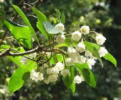 australian native indoor plants anopterus macleayanus wikipedia