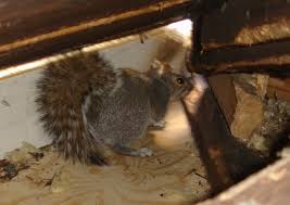 Squirrel In Basement by Squirrel Removal Faq Frequently Asked Questions About Squirrel