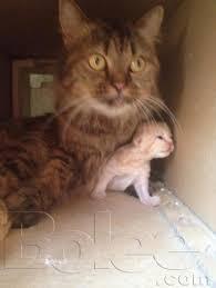 beautiful kittens beautiful kitten available in olx new born kittens karachi