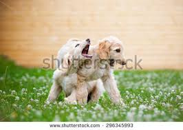 afghan hound and labrador retriever afghan dog stock images royalty free images u0026 vectors shutterstock