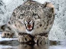 snow leopard wallpaper and background animals town