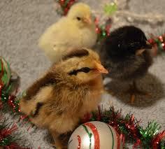 bantam hatcheries near portland oregon backyard chickens