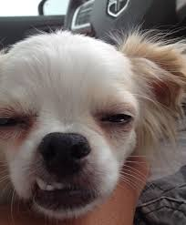 Dog Teeth Meme - very dog with funny teeth meme daily funny memes