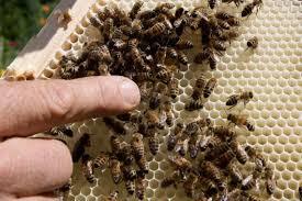 making sacramento a haven for honeybees the sacramento bee